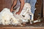 Stock Photo of sheep shearing