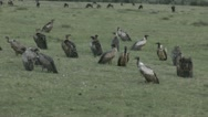 Stock Video Footage of Vultures in Kenya