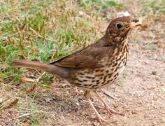 a song thrush collecting bread for its offspring. - stock photo