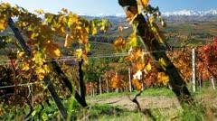 Vineyards, Treiso, Italy Stock Footage