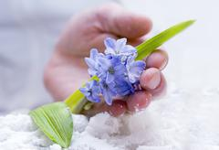 tender hyacinth - stock photo