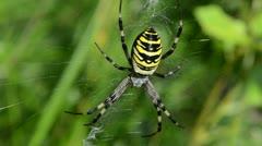 Wasp spider argiope bruennichi spiderweb web move wind Stock Footage