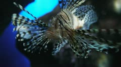 Pterois Stock Footage
