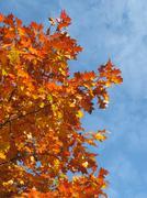 Colorful orange fall season leaves. Stock Photos