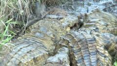 Crocodiles fighting over dead Duiker Stock Footage