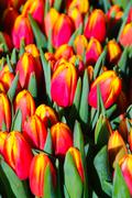 Tulips blossoming Stock Photos