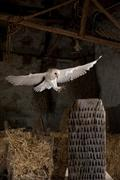 Common barn owl - stock photo