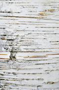 birch bark - stock photo