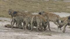 HYENA FEEDING FRENZY - stock footage