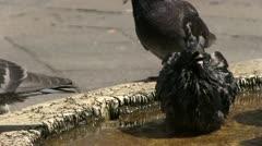 Pigeons bathing in water Stock Footage