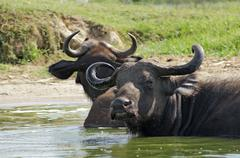 African buffalos in sunny ambiance Stock Photos