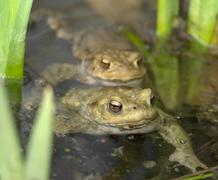 Common toads in a pond Stock Photos