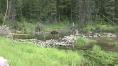 Beaver Pond Stock Footage