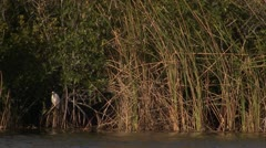 White bird in marshes Stock Footage