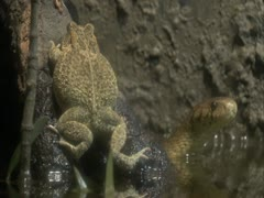 A frog and forest cobra Stock Footage