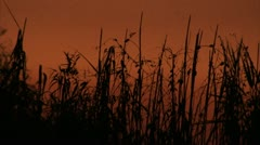 Everglades Twilight Tall Grass Sways in Orange Sky, the Everglades Florida Video Stock Footage