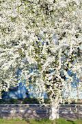 blossoming cherry tree - stock photo