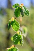 Spring twig of hornbeam with green leaf Stock Photos