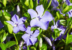 periwinkle - stock photo