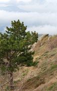 pine tree on mountain - stock photo