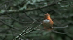 Rufous Hummingbird male's war dance Stock Footage