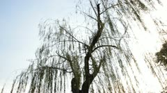 Weeping willow tree in garden - stock footage