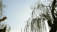 Stock Video Footage of Weeping willow tree in garden