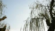 Weeping willow tree in garden Stock Footage
