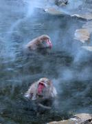 macaques in hot spring - stock photo