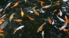 Koi fish Stock Footage