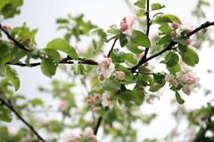 Apple flower on tree Stock Photos