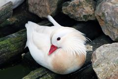 mandarin duck.JPG - stock photo