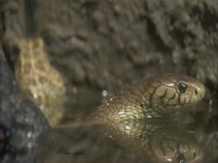 Forest cobra IN WATER Stock Footage