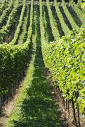 green vineyards - stock photo