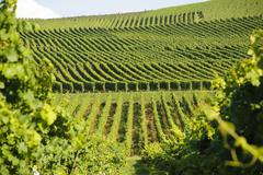 Green vineyards Stock Photos