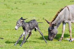 Just born little donkey first step.JPG Stock Photos