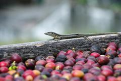 lizard and fresh coffee grains - stock photo