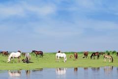 horses on watering place.JPG - stock photo