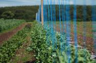 Field of peas, with strings Stock Photos