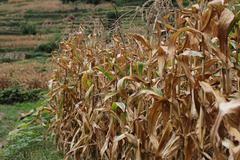Rows of corn stalks. Stock Photos