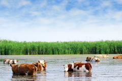 Cows on watering place.JPG Stock Photos