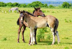 Two foals on pasture.JPG Stock Photos