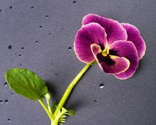 violet - stock photo
