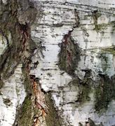 Stock Photo of bark 2