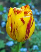 striped tulip - stock photo