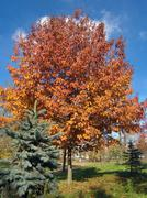 autumn ouk - stock photo