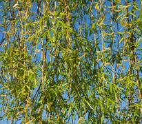 pussy-willow background - stock photo