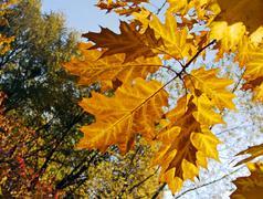 Oak leafs Stock Photos