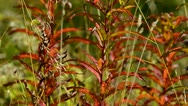 Autumn foliage in the wind Stock Footage