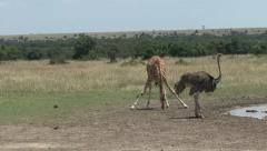 GIRAFFE AND OSTRICH Stock Footage